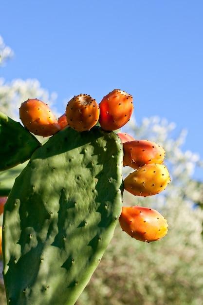 Prickly pears on cactus Premium Photo