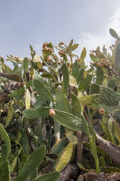 Prickly pears (opuntia ficus-indica) Premium Photo