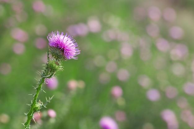 Prickly weed is a burdock. Premium Photo