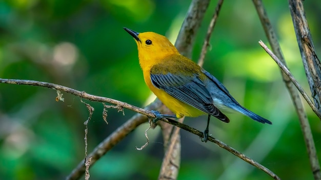 Prothonotary Warbler (protonotaria Citrea 무료 사진