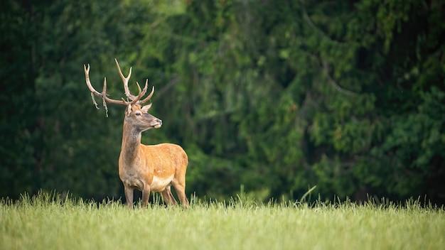 Proud red deer stag looking away in green summer nature Premium Photo