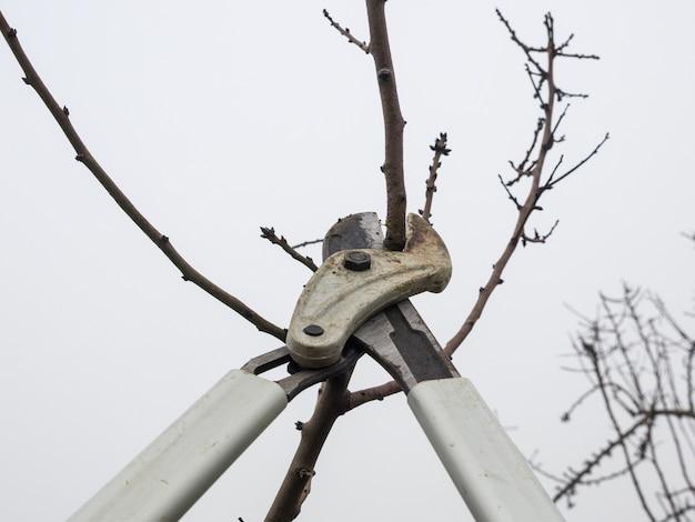 曇りの日の秋の畑で、若い木の剪定ばさみを剪定します。 Premium写真
