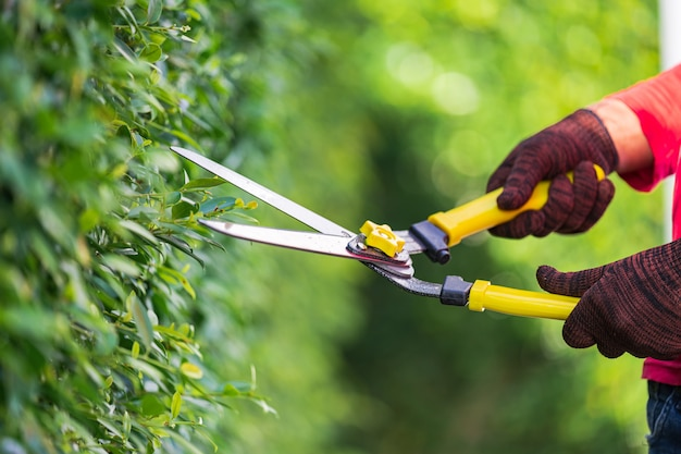 Pruning of ornamental trees at home in morning Premium Photo