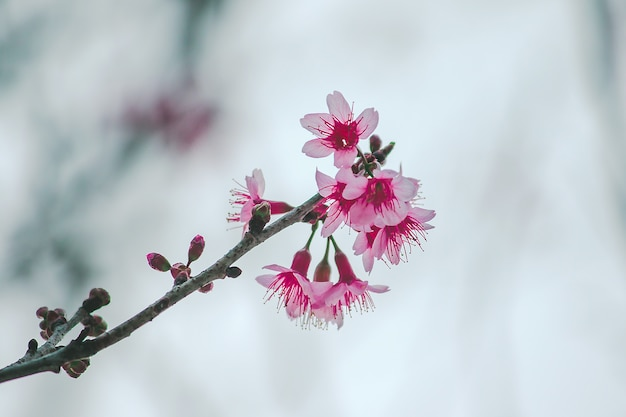 Prunus cerasoides are beautiful pink in nature. in the north of thailand flowering during january Premium Photo