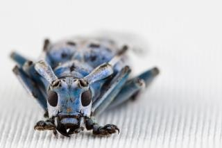 Pseudomyagrus waterhousei raccapricciante scarabeo Foto Gratuite