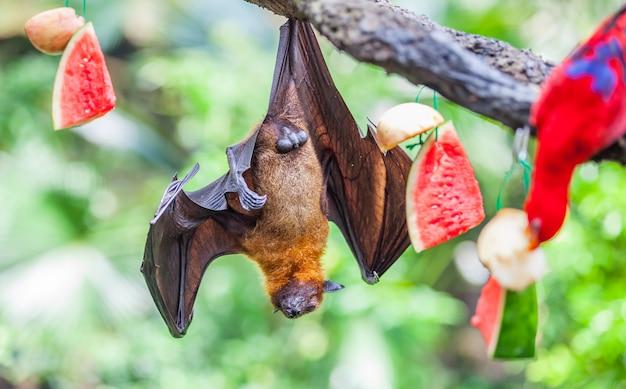 動物園の木にぶら下がっているオオコウモリpteropus alecto Premium写真