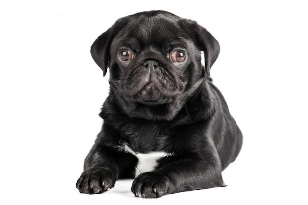 Pug dog isolated on a white background Premium Photo