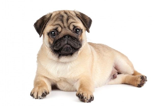 Pug dog isolated on a white background Premium Photo