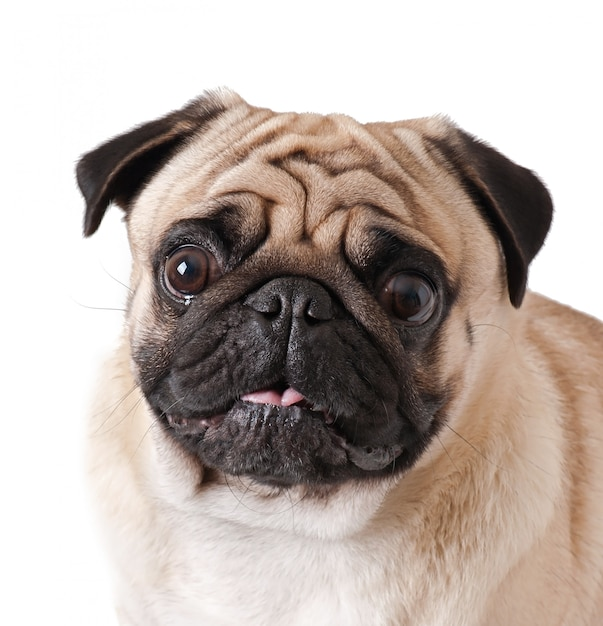 Pug dog isolated on a white background Free Photo