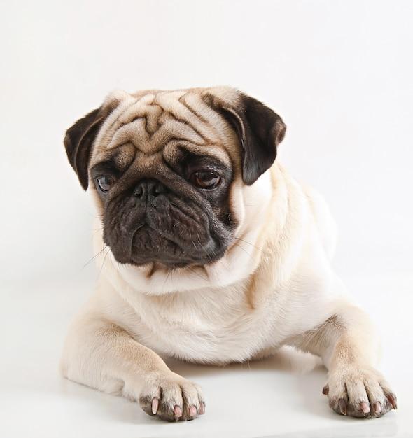 Pug dog isolated on a white background Free Photo
