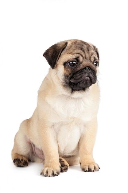 Pug dog isolated Premium Photo