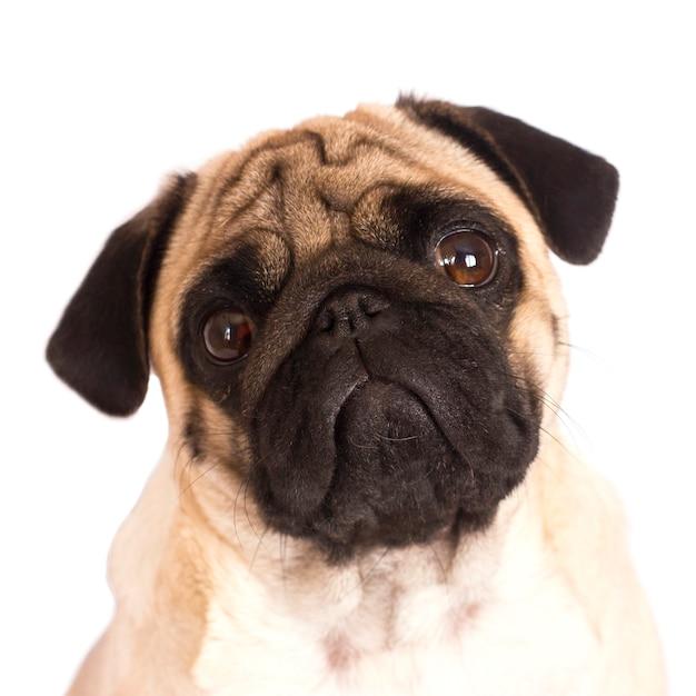The pug dog sits and looks directly into the camera. sad big eyes. Premium Photo