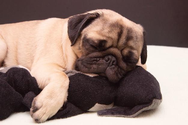 ベッドの上でぬいぐるみ猫と一緒に寝ているパグ犬 | プレミアム写真