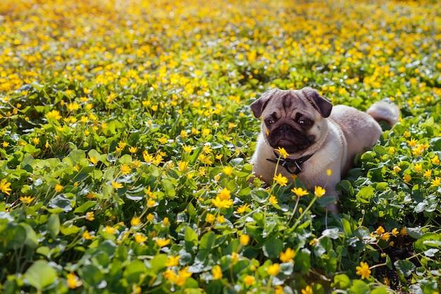 Pug dog walking in spring forest. Premium Photo