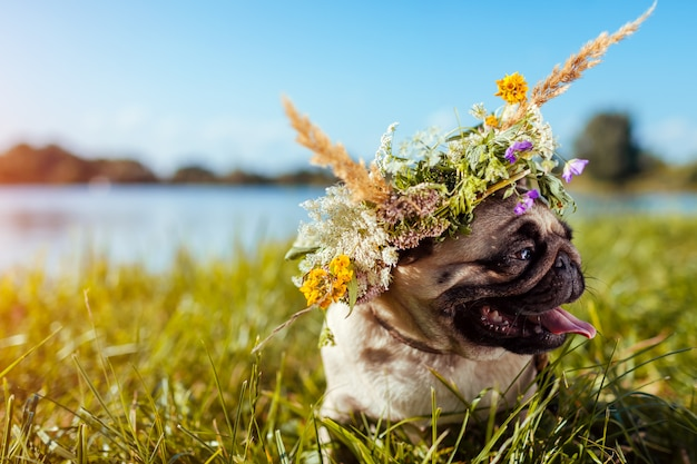 Pug dog wearing flower wreath by river. happy puppy chilling outdoors on summer field Premium Photo