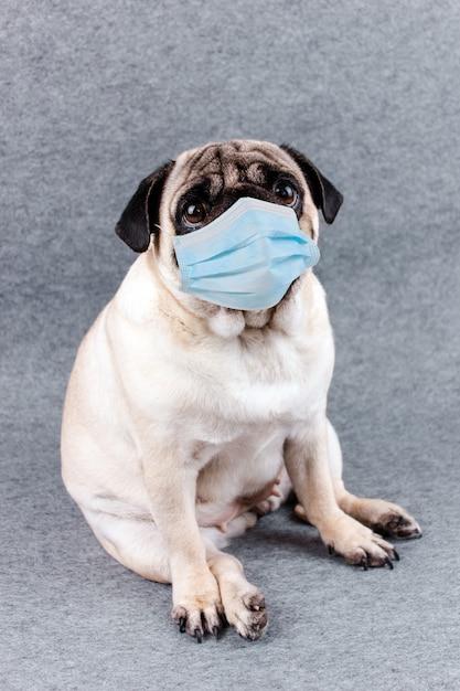 Pug dog with medical mask and sad big eyes. quarantine and isolation during coronavirus Premium Photo