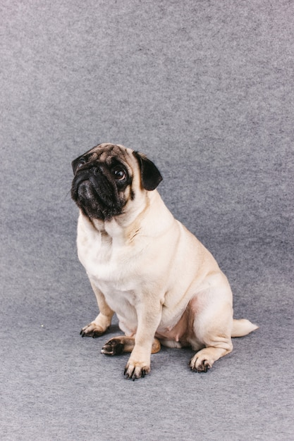 Pug dog with sad big eyes sits on a gray room and looks up Premium Photo