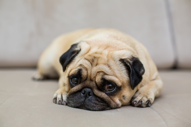 The pug is resting on the natural parquet, tired mops dog lies on the floor, top view Free Photo