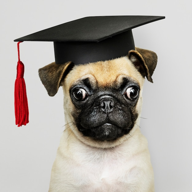 Pug puppy academic Free Photo