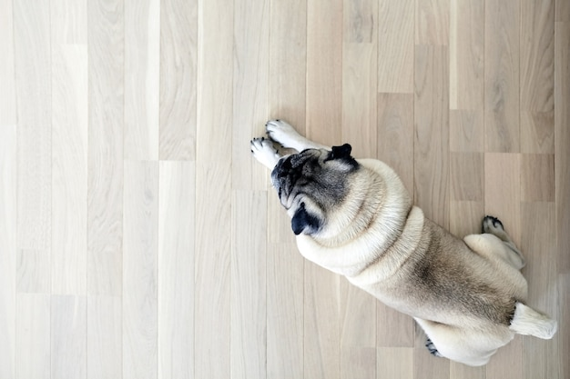 Pug resting on the natural parquet tired Premium Photo