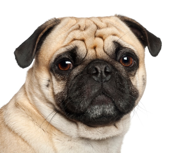 Pug, sitting against white background Premium Photo