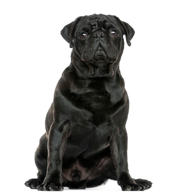 Pug sitting isolated on white Premium Photo