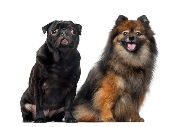Pug and spitz in front of a white wall Premium Photo