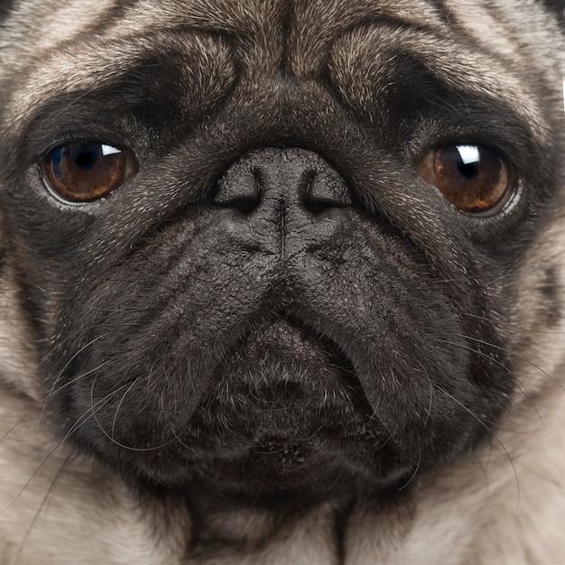 Pug with 4 years. dog portrait isolated Premium Photo