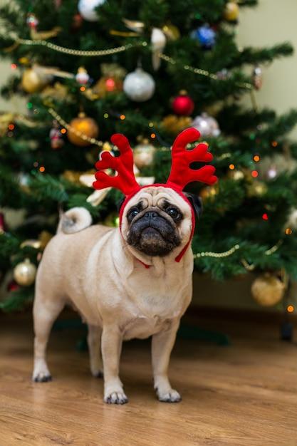 アカシカの角を持つパグ。幸せな犬。クリスマスのパグ犬。クリスマスムード。アパートの犬。 無料写真