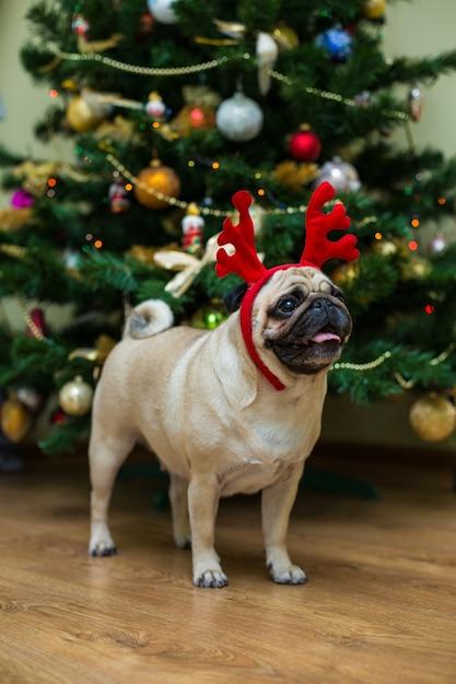 Мопс с рогами благородного оленя. счастливая собака. рождественский мопс. рождественское настроение. собака в квартире. Бесплатные Фотографии