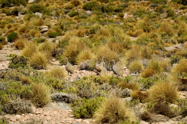 Puna tinamou birds grazing in the puna grassland of eduardo avaroa andean fauna, potosi, bolivia Premium Photo