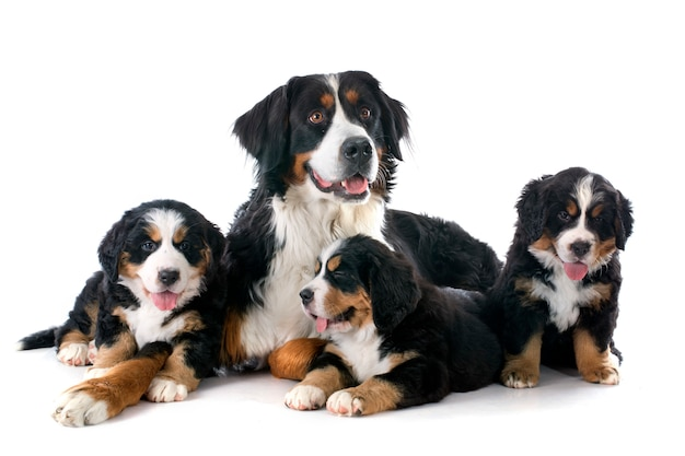 Puppies and adult bernese moutain dog Premium Photo