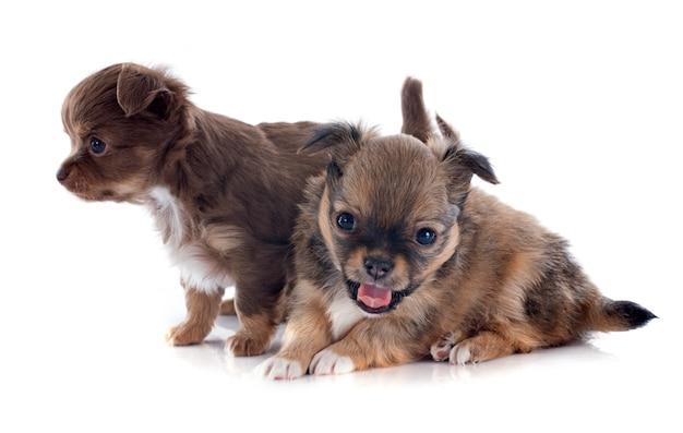 Puppies chihuahua Premium Photo