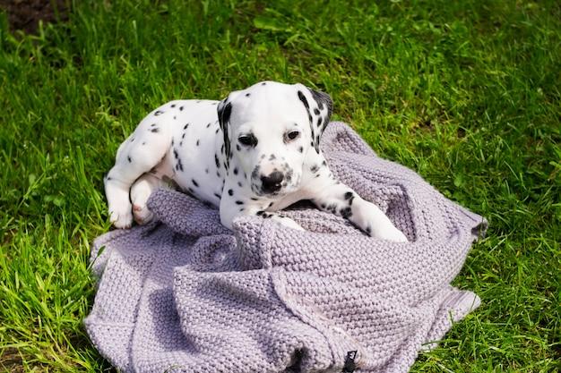 Puppies dalmatian. dalmatian puppy playing outdoors in summer Premium Photo