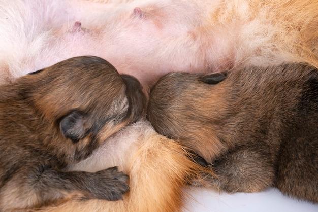 Puppies pomeranian and mother Premium Photo