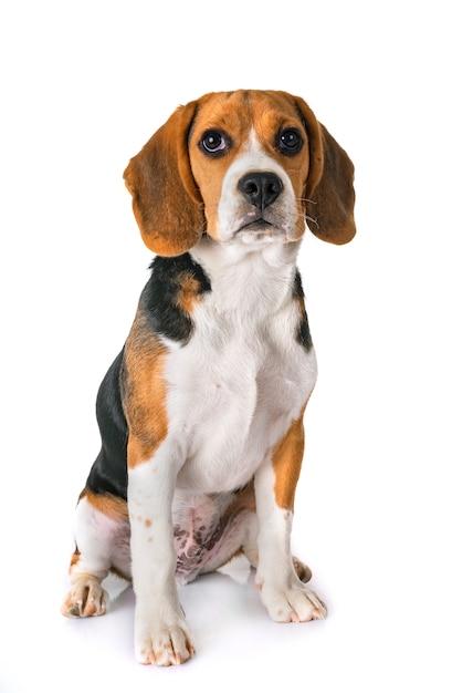 Puppy beagle in studio Premium Photo