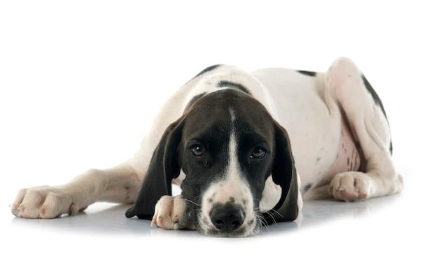 Puppy braque d'auvergne Premium Photo
