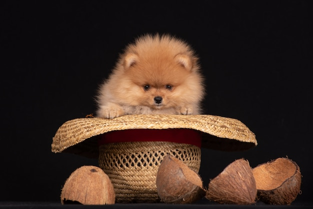 Puppy of breed a pomeranian sits in a cowboy hat Premium Photo