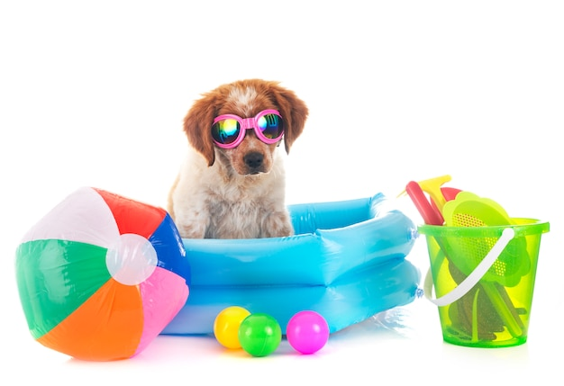 Puppy brittany spaniel Premium Photo