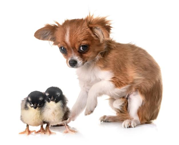 Puppy chihuahua and chick Premium Photo