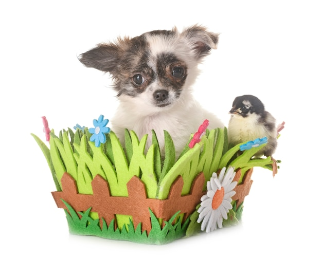 Puppy chihuahua and chicks Premium Photo