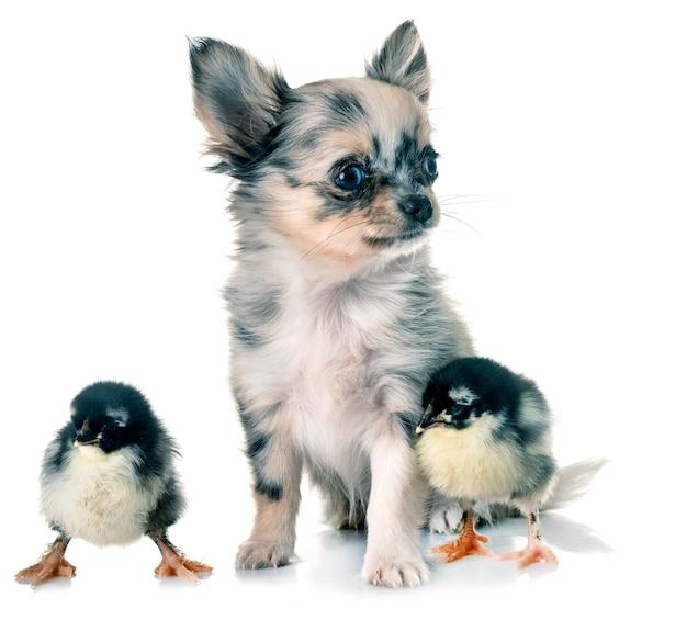 Puppy chihuahua and chicks Premium Photo