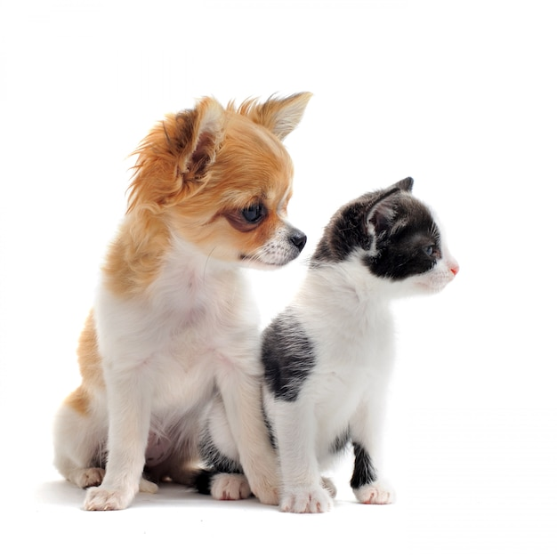 Puppy chihuahua and kitten Premium Photo