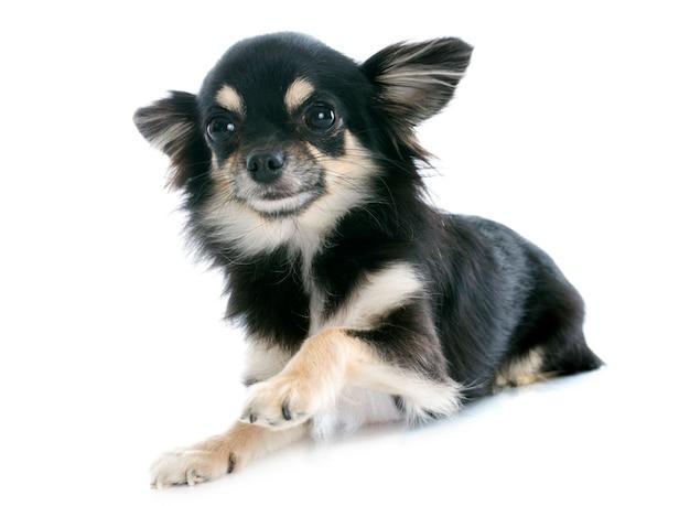 Puppy chihuahua Premium Photo