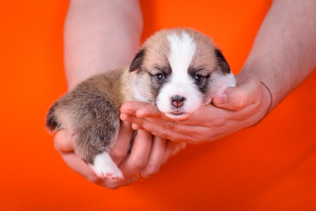 Puppy corgi age 1 month on the hands of have men. Premium Photo