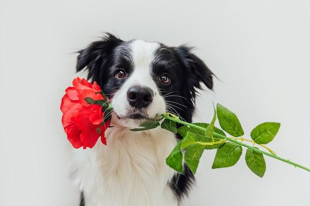 Бордер-колли щенок держит во рту цветок красной розы, изолированные на белом фоне Premium Фотографии
