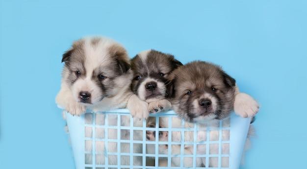 Puppy dog sitting in the blue plastic basket on blue Premium Photo