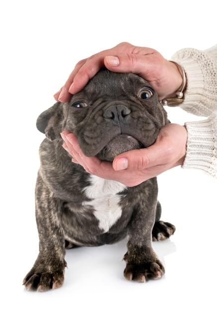 Puppy french bulldog Premium Photo