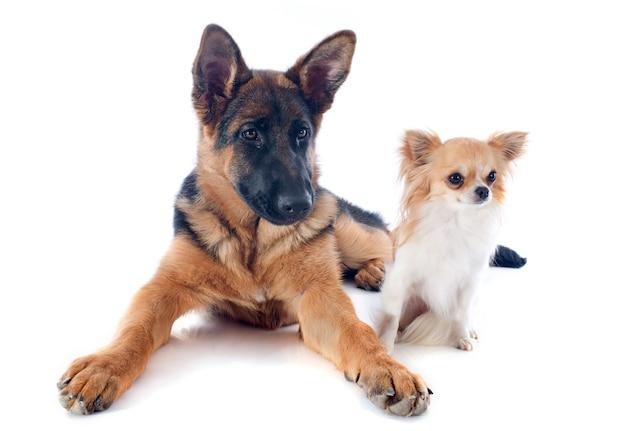 Puppy german shepherd and chihuahua Premium Photo