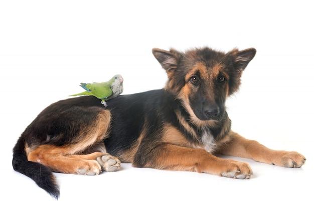 Puppy german shepherd and parakeet Premium Photo